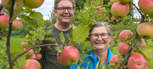 Nu är äpplena mogna i Stensån