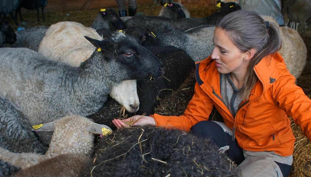 Erika mitt ibland fåren som ger ull till sina olika alster som tillverkas i Laxviken.