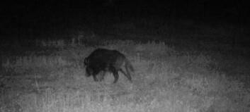 Vildsvin problem i Storsjöbygden – jaktlag jagar vildsvin