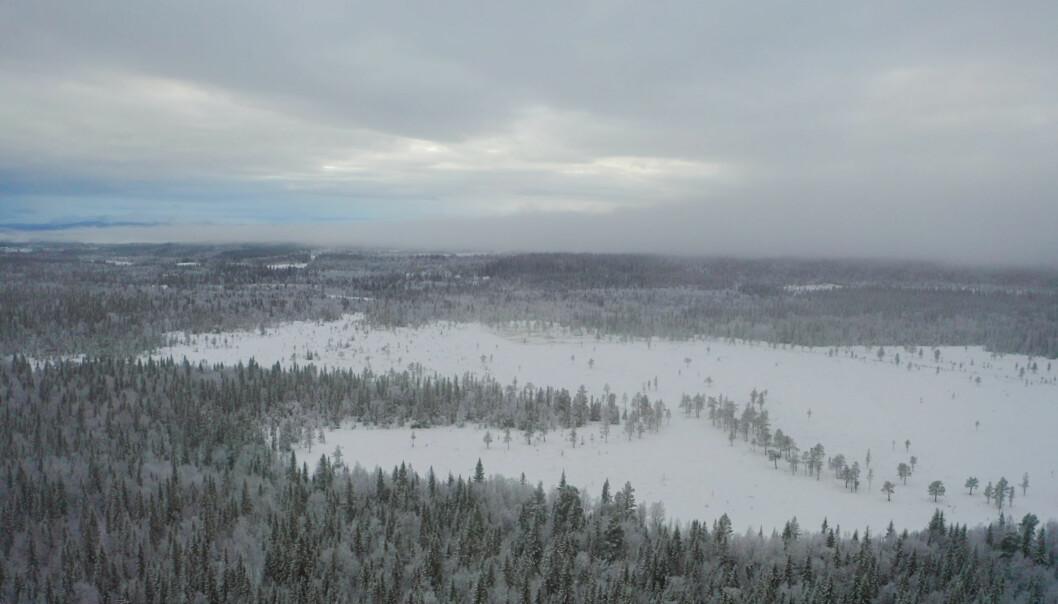 Det finns stora naturvärden i den här skogen i västra Offerdal Nordbyn Vallsta.