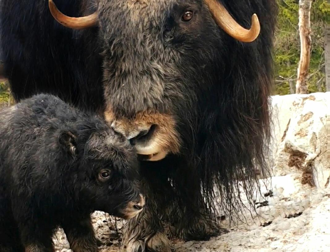 Årets första myskoxkalv. Under tisdagen födde kon Neassa en kalv i hägnet på Myskoxcentrum, Tännäs i västra Härjedalen.