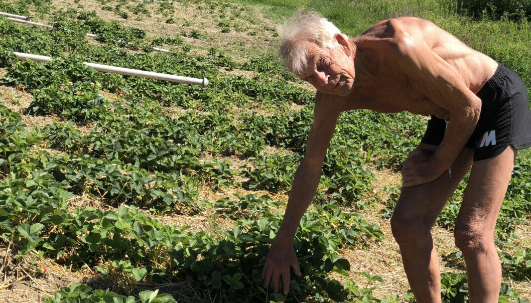 Per-Anders Persson har odlat jordgubbar i Gevåg i över sextio år och årets skörd ser ut att bli bra.