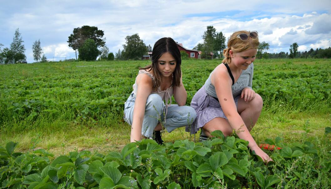 Maja och Thelma plockar jordgubbar.