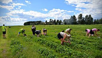 Många plockar jordgubbar på Rödön varje sommar och har blivit snabba på att hitta de största mest röda bären.