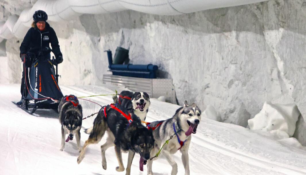 I början av juli fick slädhundsföraren Marie Israelssons hundar testa på att springa inne i skidtunneln. Testet gick så bra att det nu ska arrangeras en tävling i höst. FOTO: Niklas Andersson.