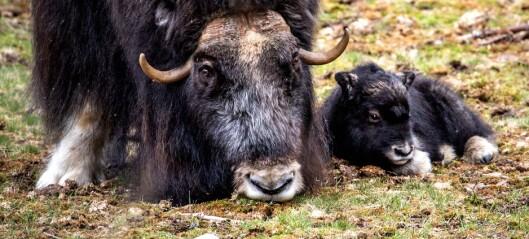 Myskoxen Helga fick sin första kalv för året