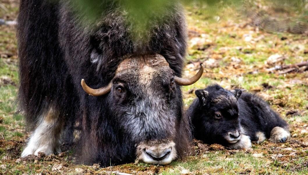 Mamma Helga och den nyfödda kalven vilar och tar det lugnt. Det är Helgas första kalv i år. Foto: Emeli Nilsson