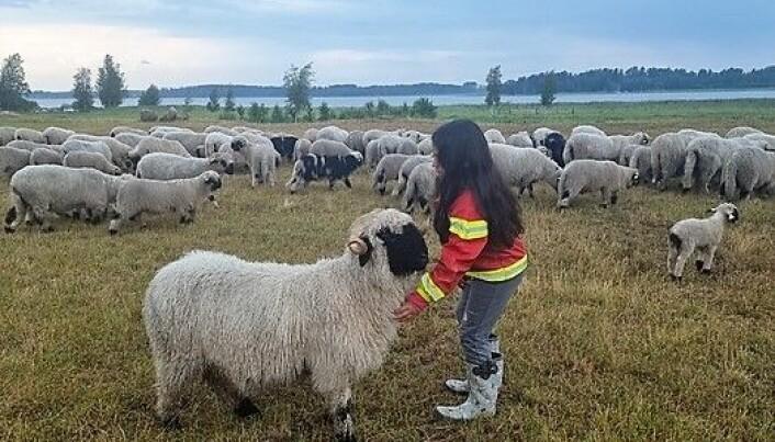 Livia träffar walliska svartnosfår för första gången hos Marita. Sex av fåren följde med hem till Alsen.