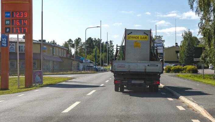 Brutus fraktades med pickup till Myskoxcentrum i Härjedalen. JT erfar att transporten gått bra och att Brutus nu finns i hägnet i Tännäs.
