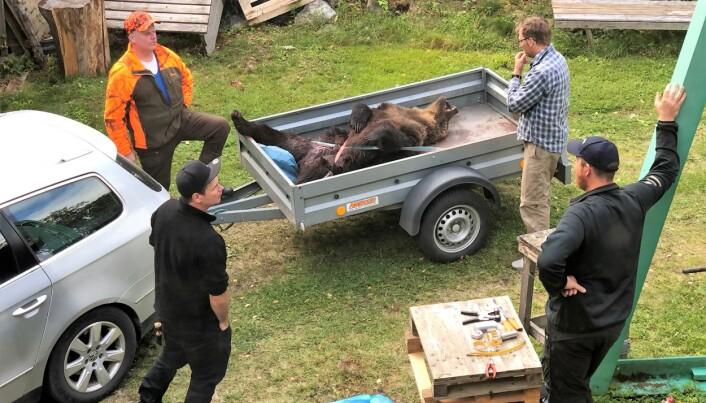 Lars-Erik Sörqvist, jaktledare i Svaningen, längst upp till vänster, bär på en unik björnhistoria Mattias Bergmark längst ner till vänster som sköt björnhanen som ligger på släpvagnen.