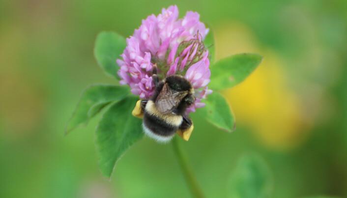 Pollinerande Humla