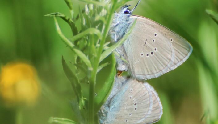 Ängsblåvingar parar sig