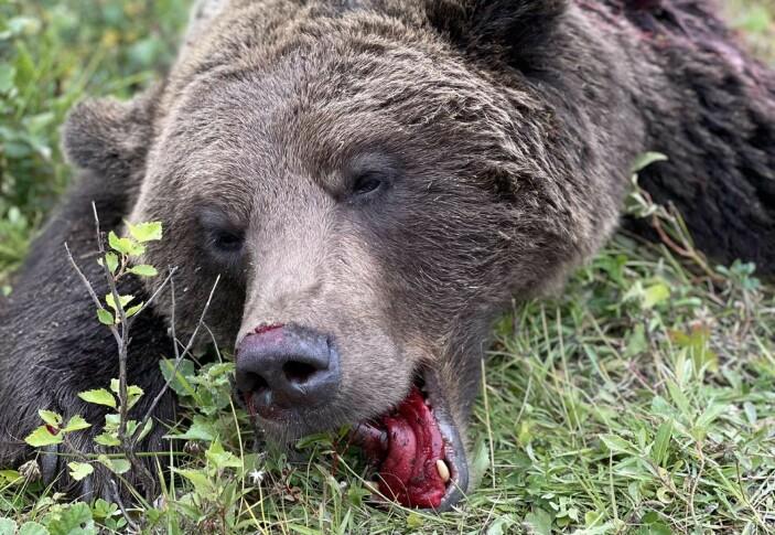 Jaktledaren och Daniels pappa Michael Blomqvist menar att det är större risk för björnattacker när björnstammen är så stor i området kring Strömsund. Han hade gärna sett att tilldelningen i kärnområdet var större. Foto: Daniel Blomqvist