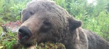 Björnjakten avlyst i ett femte område