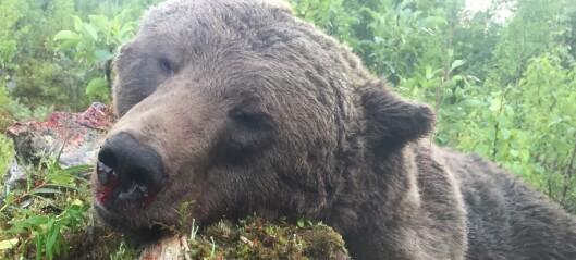Så många björnar har fällts i länet