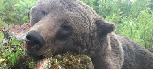 Inga uppköpare av björnkött i år – jägare tvingas gräva ned köttet