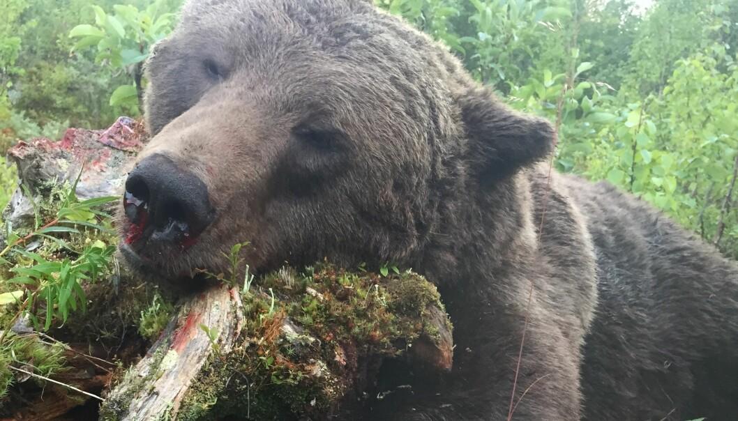 Det är svårt för björnjägarna att bli av med köttet från skjutna björnar. Många tvingas gräva ned köttet (Arkivbild).