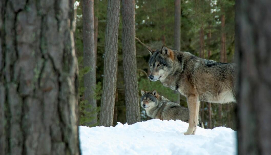 Vargen är ett kontroversiellt inslag i de svenska skogarna.