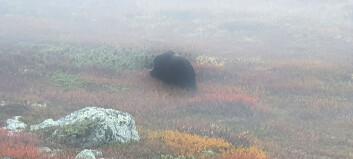 Myskoxen i Ljusnedal har drivits upp på kalfjället