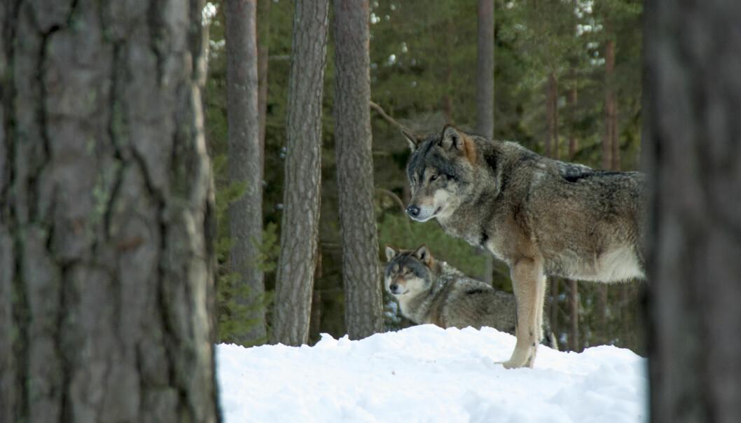 Ingen licensjakt på vargtillåts i Jämtlands län under 2022. Detta framgår av ett beslut där Naturvårdsverket inte har delegerat rätten att besluta om licensjakt på varg till Länsstyrelsen Jämtlands län. Arkivbild