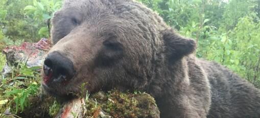 Björnjakten avslutad – målet uppnåddes inte – kan komma att läggas på nästa års tilldelning